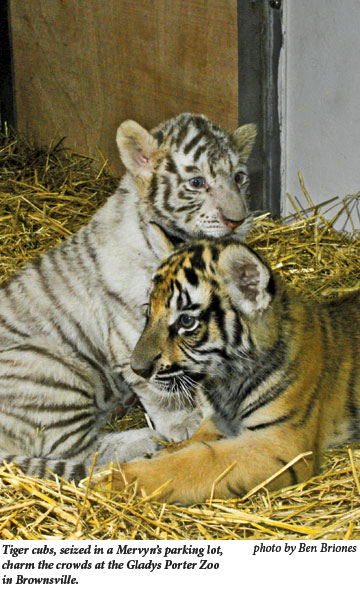 Tiger cubs seized in a Mervyn's parking lot