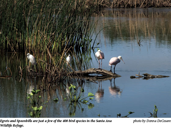 Egrets and Spoonbills are just a few of the 400 bird species in the Santa Ana Wildlife Refuge.