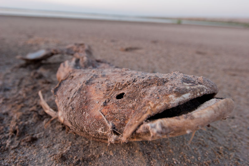 Dead catfish at San Angelo's dried-up OC Fisher reservoir