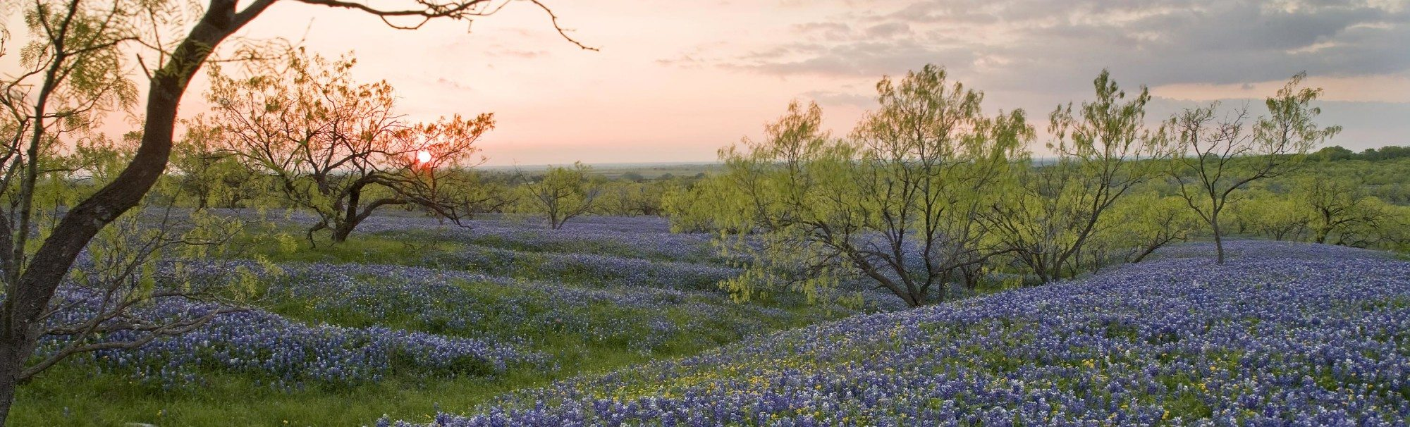 Texas wildflower