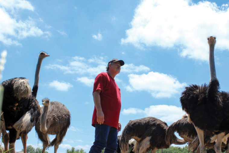 July 2016 postcard ostrich farm