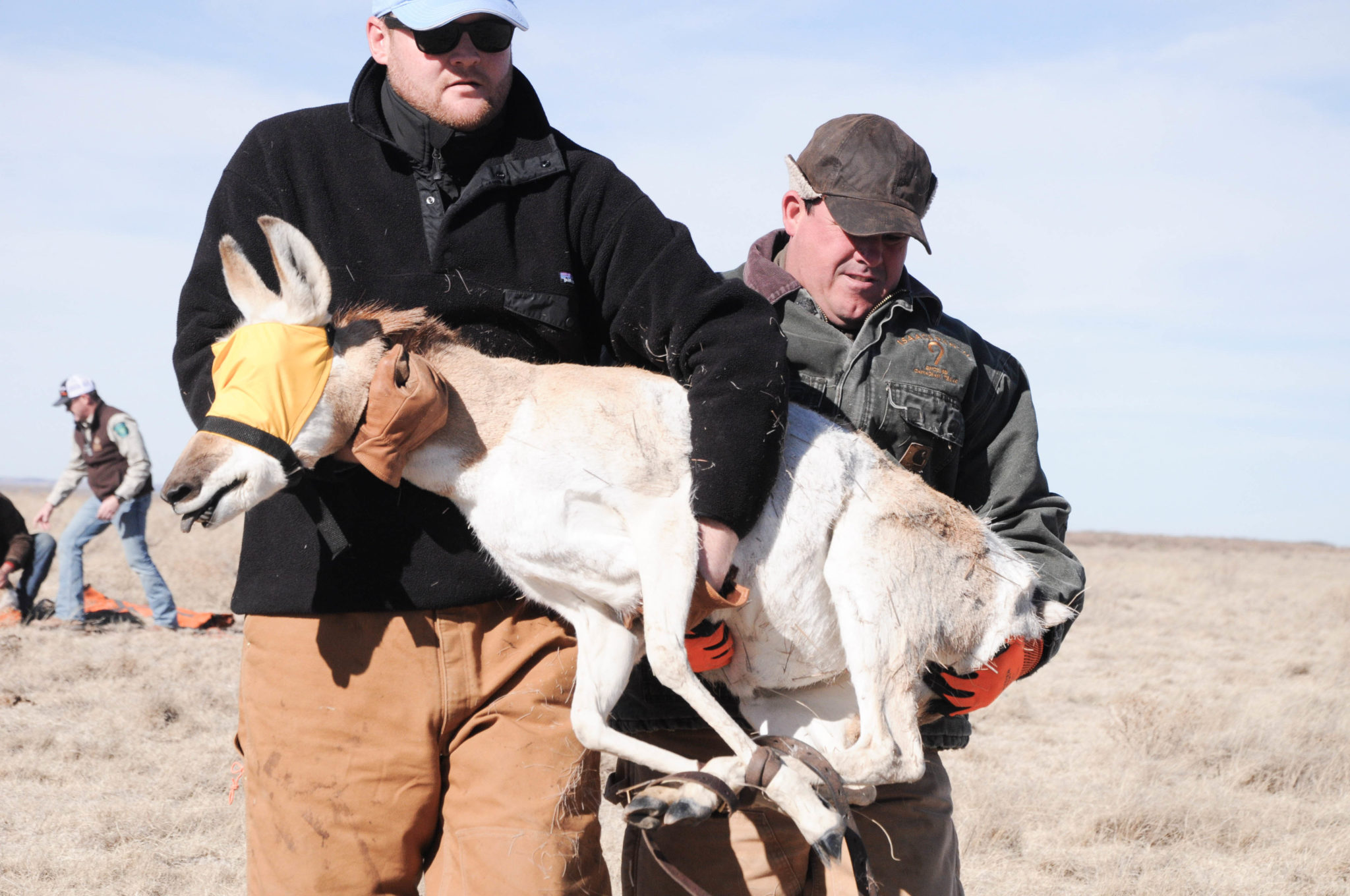 Two volunteers help transport a captured pronghorn to a makeshift service station, where it will receive a variety of injections, including de-wormers and vitamins.