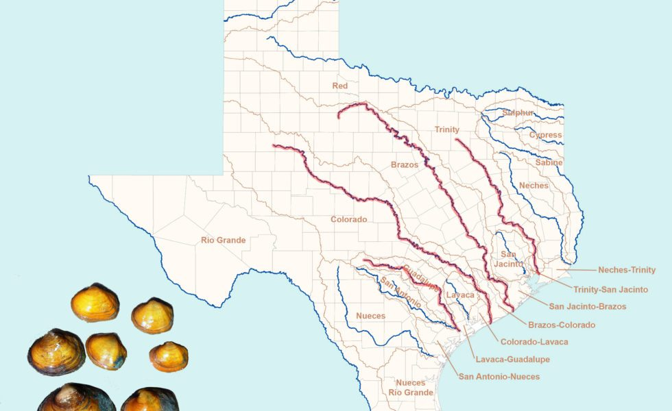 The U.S. Fish and Wildlife Service is reviewing whether to add protections for four mussel species found in the Brazos, Guadalupe, Colorado and Trinity rivers.