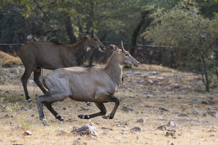 The King Ranch pioneered the release of nilgai in Texas, according to the Texas State Historical Association.