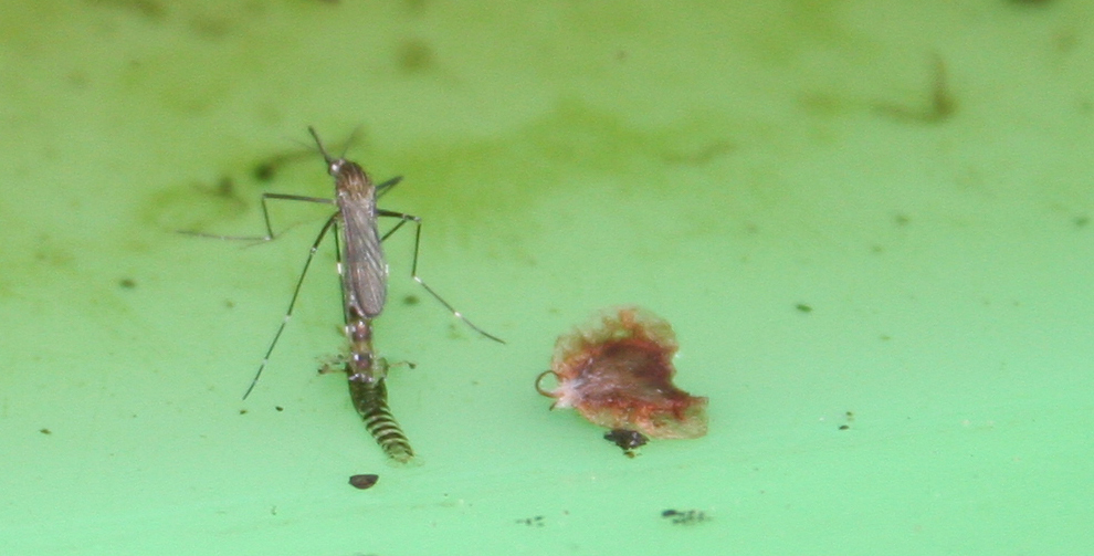 An adult mosquito emerges from its pupal case.