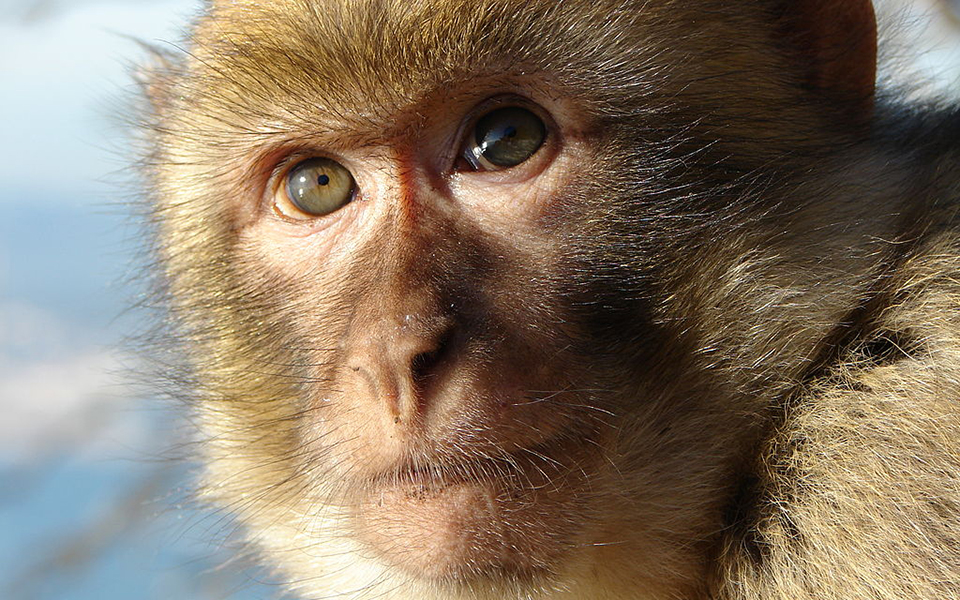 Macaques are some of the most popular primates used in animal research.