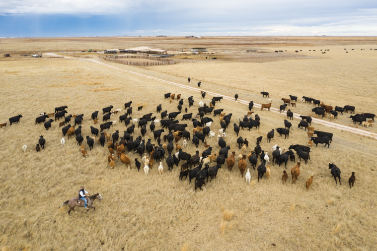 Mike Mimms herds 200 cattle on his ranch near Hereford; the proposed feedlot would border his property.
